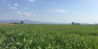 Ασθένειες Σιτηρών : Οι Πιο Συνηθισμένες στην Ελλάδα